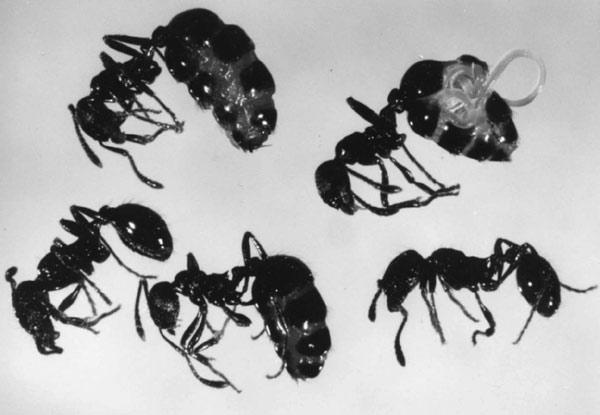 nematoda , myrmica , mravec , parazity