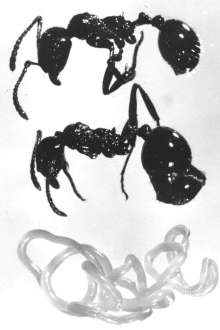 aphaenogaster , nematoda